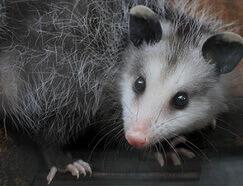 opossum control nj - humane opossum wildlife removal New Jersey