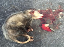 dead opossum nj - bloody dead opossum on the ground nj