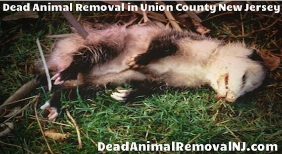 dead animal pickup union county nj - dead animal carcass pickup and dispose union county, nj