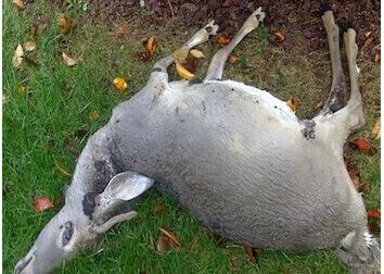 randolph nj dead deer carcass removal service