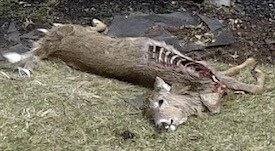 dead animal carcass removal mountainside nj - pickup dead animal and disposal mountainside nj