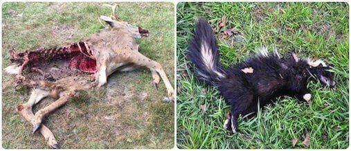 dead animal removal carcass removal pickup disposal service east meadow, ny