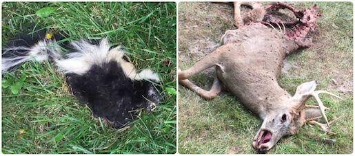 dead animal carcass removal deer pickup disposal hicksville, ny