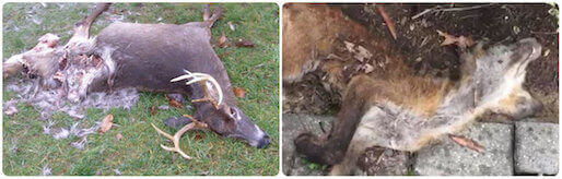 dead animal carcass removal deer pickup disposal service oceanside, ny