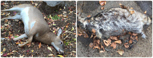 dead animal carcass removal pickup deer disposal service rockville centre, ny
