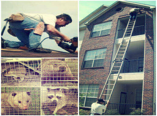 animal removal proofing trapping exclusion service islip, ny