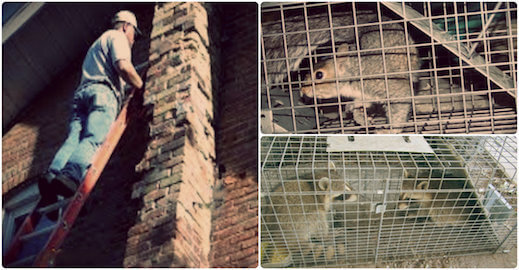 animal removal trapping proofing service lynbrook, ny