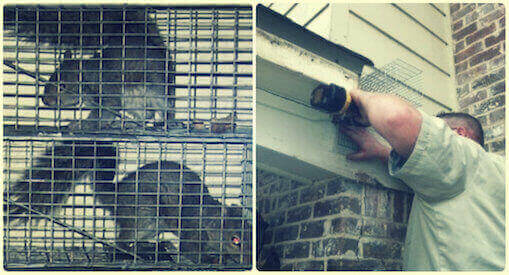squirrel removal and squirrels proofing exclusion service long beach, ny