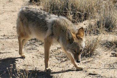 animal removal los angeles ca - coyote removal los angeles