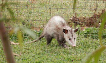 animal removal los angeles ca - opossum removal los angeles