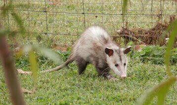 animal removal los angeles ca - opossum removal los angeles