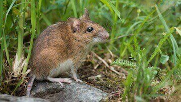 animal removal los angeles ca - rats and mice removal los angeles