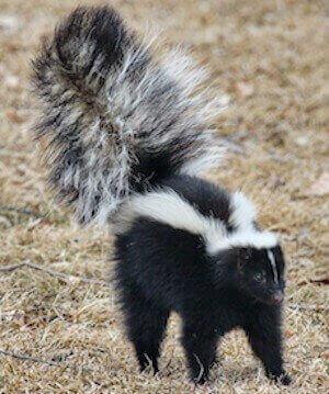 animal removal los angeles ca - skunk removal los angeles