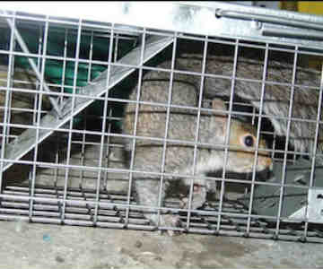 New Jersey squirrel in attic removal - squirrels in attic trapping removal service in new jersey