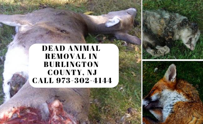 Burlington NJ dead deer animal removal service Burlington County