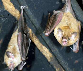 NJ trapping bats removal services in NJ