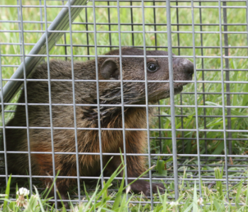 NJ trapping groundhogs services in NJ