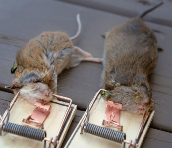 NJ trapping mice rats removal services in NJ
