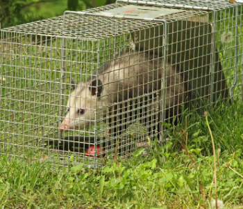 New Jersey trapping opossums services in NJ