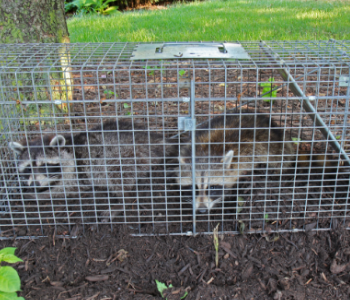New Jersey trapping raccoons services in NJ