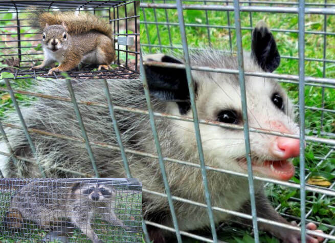somerset county NJ animal trapping - humane animal removal ocean county NJ
