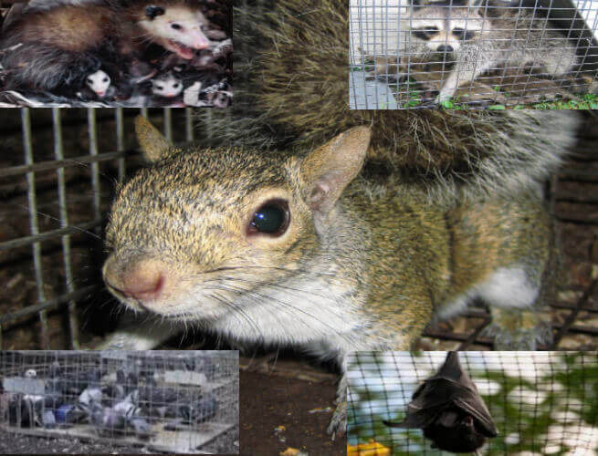 bergen county nj animal trapping - animal trappers proofing bergen county