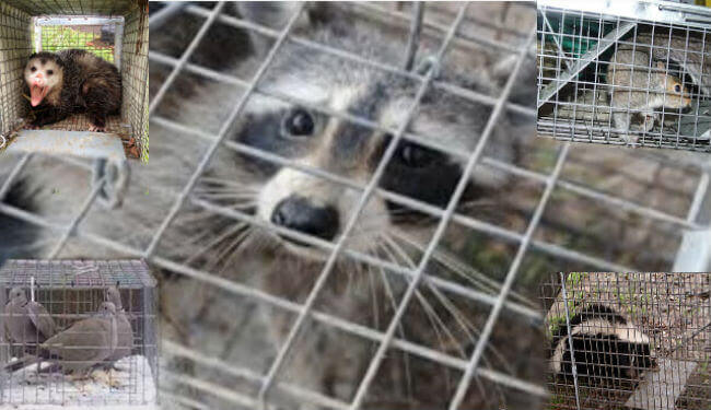 Monmouth county nj animal trapping proofing - humane wildlife removal Monmouth county